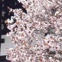 palace-sakura